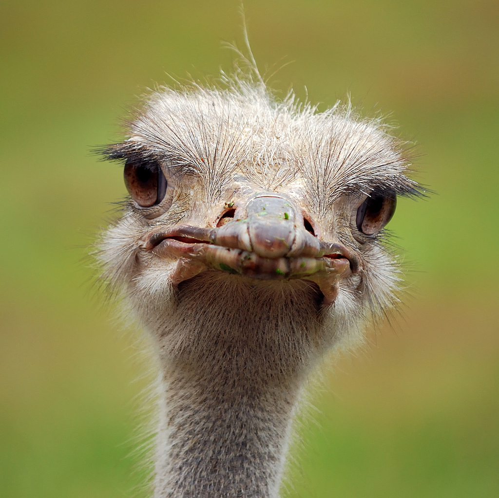 Funny Ostrich Mouth Open Tongue